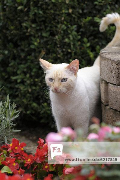 Thai-Katze steht im Garten