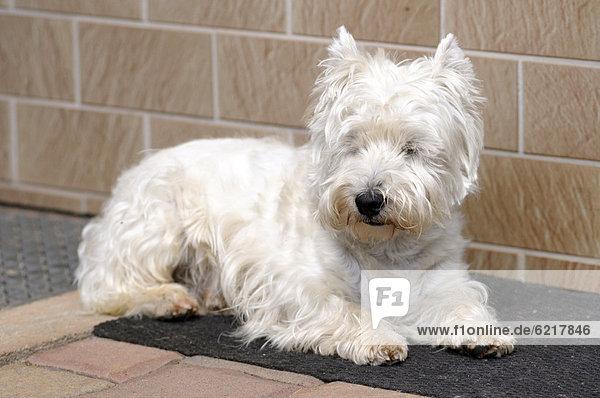 West Highland Terrier liegt auf Fußmatte