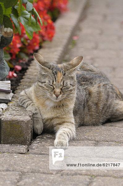 Getigerte Katze liegt neben Blumenbeet, die Augen geschlossen