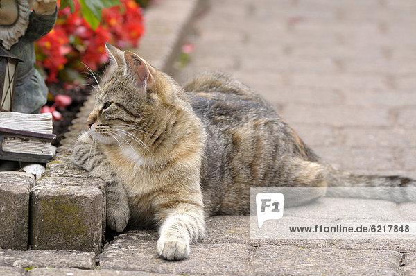 Getigerte Katze liegt neben Blumenbeet
