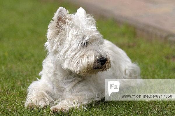 West Highland Terrier liegt im Gras