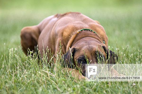 Rhodesian Ridgeback liegt im Gras