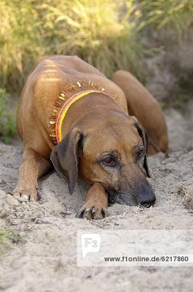 Rhodesian Ridgeback liegt im Sand