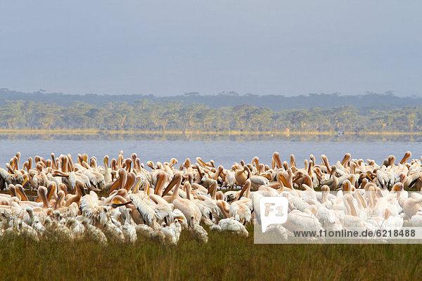 Pelikane (Pelecanus sp.) am Lake Nakuru  Kenia  Afrika