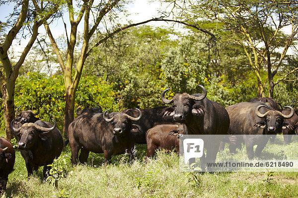Kaffernbüffel (Syncerus caffer) am Lake Nakuru  Kenia  Afrika