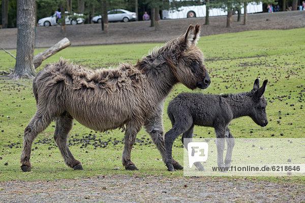 Donkey with foal  Serengeti Park  Hodenhagen  Lower Saxony  Germany  Europe