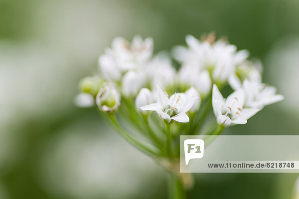 Chives (Allium schoenoprasum)  flowering  Hesse  Germany  Europe