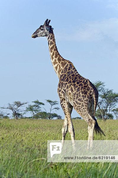 Uganda-Giraffe (Giraffa camelopardalis rothschildi) in Seronera  Serengeti  Tansania  Afrika