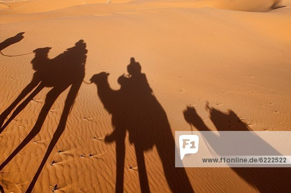 nahe  Silhouette  Sand  Sahara  Düne  Kamel  Merzouga  Marokko
