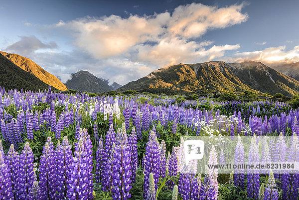 Lupines (Lupinus)  Craigieburn Range  Canterbury  South Island  New Zealand  Oceania
