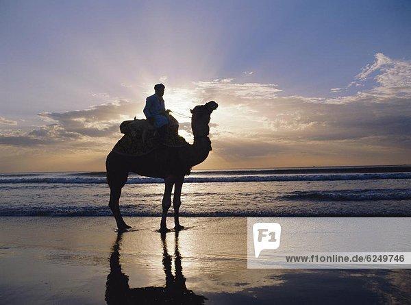 Camel on a beach  Morocco