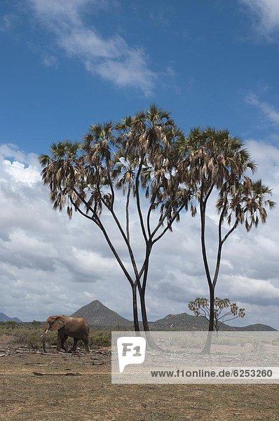Ostafrika  nahe  gehen  Elefant  Afrika  Kenia