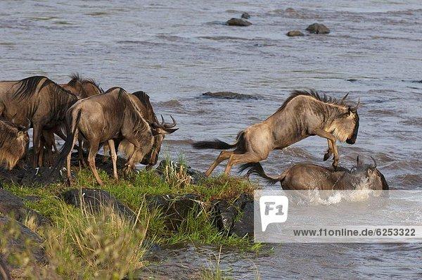 Gnus über Mara River während der jährlichen Migration  Masai Mara  Kenia  Ostafrika  Afrika