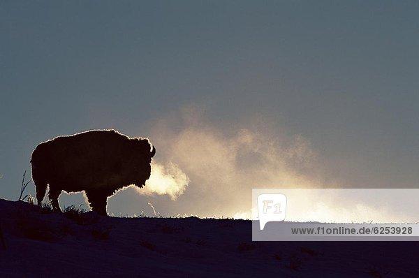 Vereinigte Staaten von Amerika  USA  Nordamerika  Yellowstone Nationalpark  Wyoming