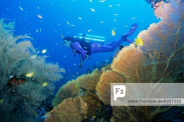Underwater diver swimming above reef  with orange sea fan  Similan Island  Thailand  Asia