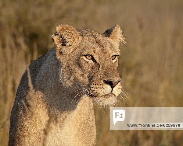Lioness (Panthera leo)  Kgalagadi Transfrontier Park  encompassing the former Kalahari Gemsbok National Park  South Africa  Africa