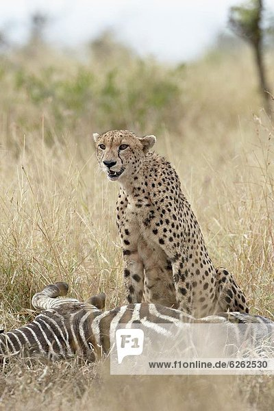 Südliches Afrika  Südafrika  Gepard  Acinonyx jubatus  töten  Kruger Nationalpark  Afrika  Zebra