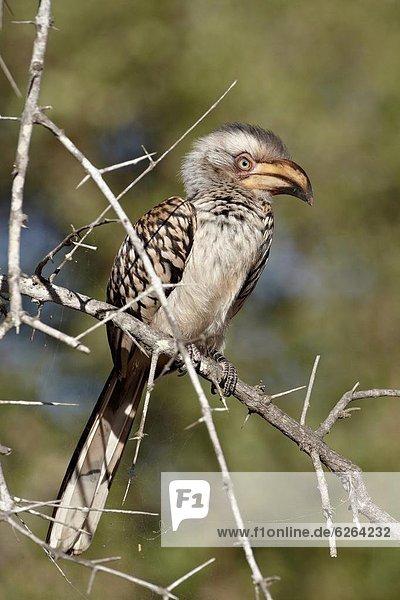 Südliches Afrika  Südafrika  Kleinkindalter  Kleinkind  Rechnung  Kruger Nationalpark  Afrika  Nashornvogel