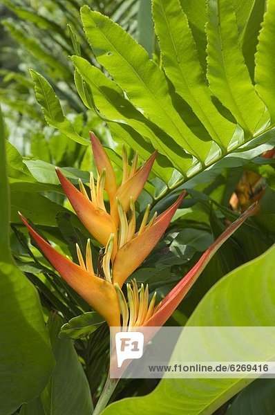 Costa Rica  Helikonie