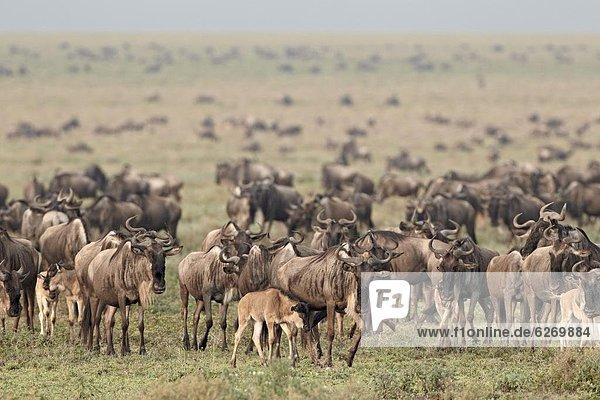 Streifengnu (brindel Gnu) (Connochaetes Taurinus) Herde  Serengeti Nationalpark  Tansania  Ostafrika  Afrika