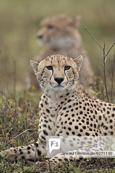 Ostafrika , Serengeti Nationalpark , Afrika , Tansania