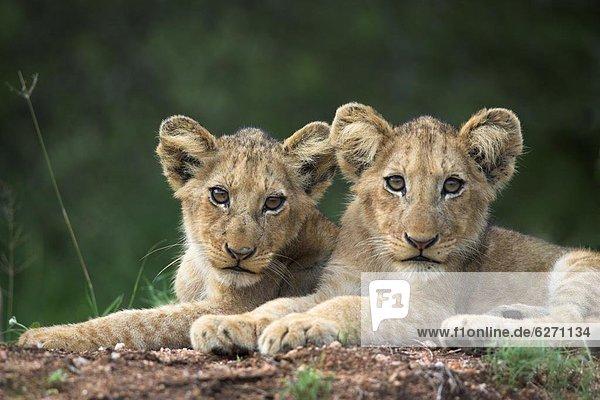 Südliches Afrika  Südafrika  Löwe  Panthera leo  Löwenjunges