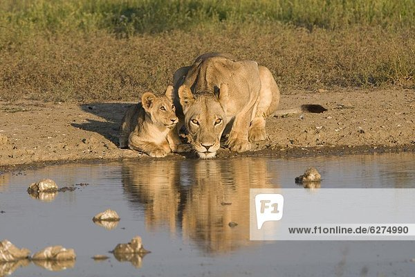 Lioness and cubs (Panthera leo)  Kgalagadi Transfrontier Park  Northern Cape  South Africa  Africa