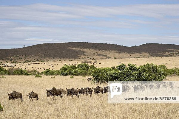 Linie von Streifengnus (brindel Gnu) (Connochaetes Taurinus)  Masai Mara National Reserve  Kenia  Ostafrika  Afrika