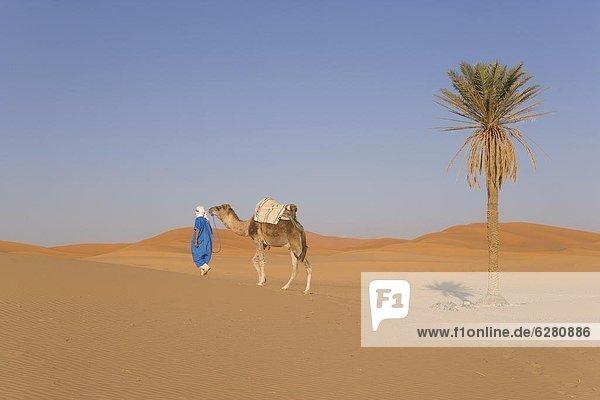 Nordafrika  Afrika  Kamel  Merzouga  Marokko
