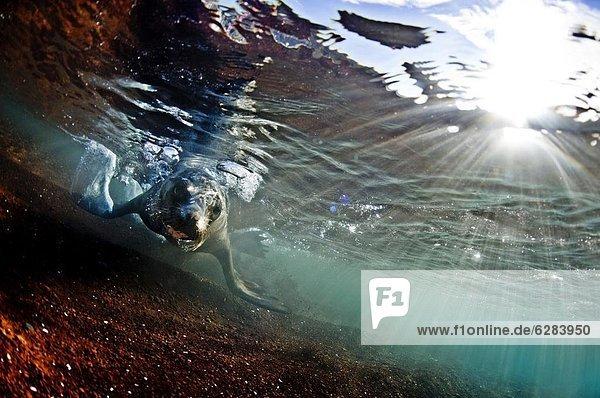Seelöwe Wasser Insel seicht Galapagosinseln Ecuador Südamerika