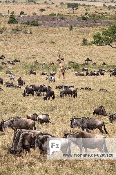 Ostafrika  Pampashase  Dolichotis patagonum  Fülle  Naturschutzgebiet  Afrika  Kenia  Masai  Wildtier