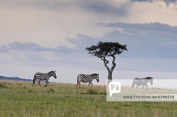 Ostafrika Masai Mara National Reserve Afrika Kenia Steppenzebra  Equus quagga