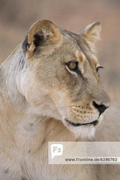 Lioness (Panthera leo)  Kgalagadi Transfrontier Park  South Africa  Africa
