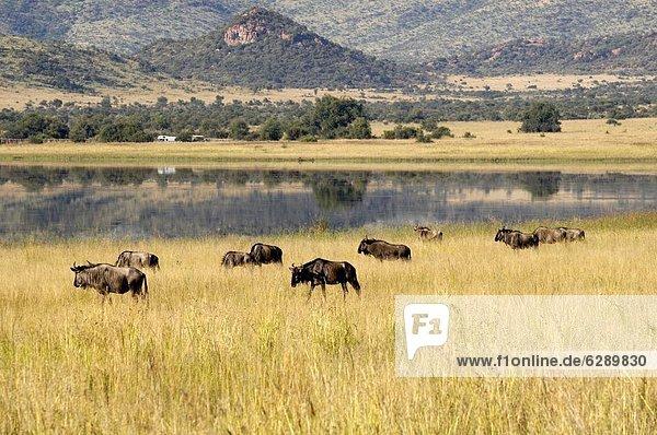 Südliches Afrika  Südafrika  Afrika  Sun City  Gnu