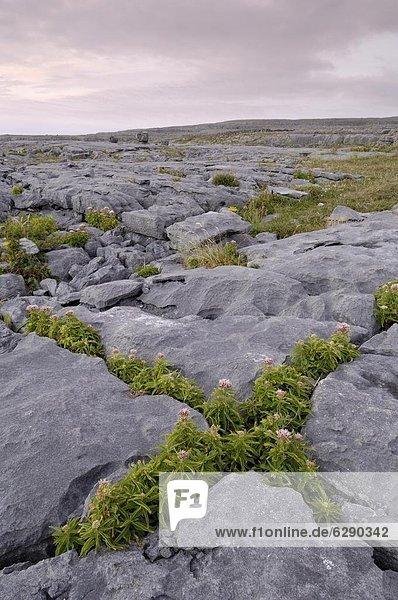 zwischen  inmitten  mitten  Europa  Wachstum  Pflanze  Bürgersteig  Clare County  Kalkstein  Burren
