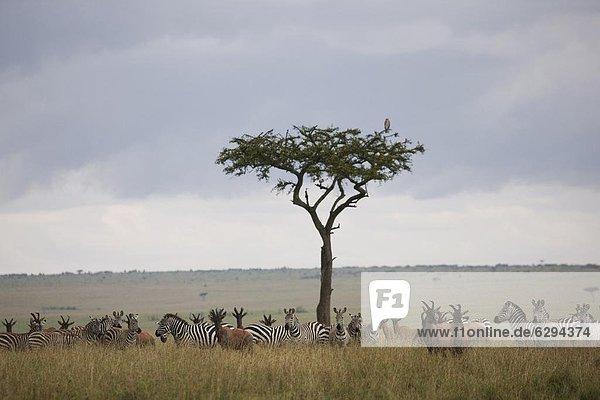 Ostafrika Leierantilope Damaliscus lunatus Zebra Steppenzebra Equus quagga Masai Mara National Reserve Afrika Kenia equus burchelli Zebra