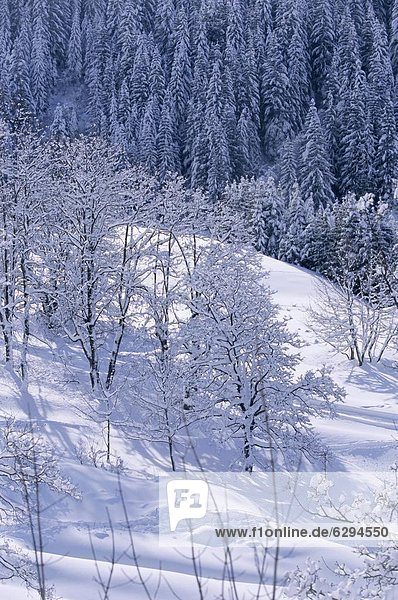 Trees in winter in the French Alps  Rhone-Alpes  France