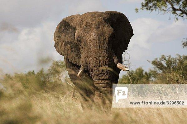 Südliches Afrika  Südafrika  Kruger Nationalpark  Afrika  Mpumalanga