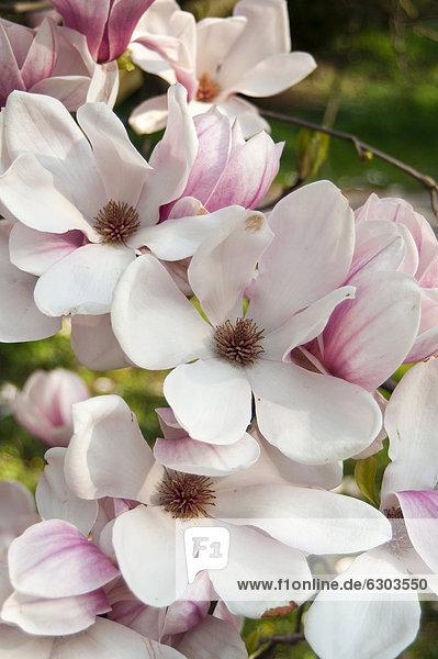 'Magnolie oder Tulpen-Magnolie (Magnolia soulangeana ''Amabilis'')  in Blüte  Smetanovy sady  Olomouc  Tschechische Republik  Europa'