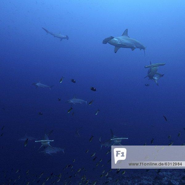 Bogenstirn-Hammerhai (Sphyrna lewini) und Kalifornische Engelfische (Holacanthus passer)  Malpelo  Kolumbien  Pazifik  Unterwasseraufnahme Unterwasseraufnahme