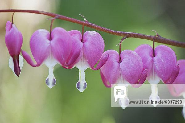 Tränendes Herz Blumen Tränendes Herz Blumen