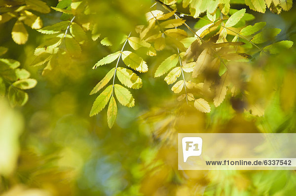 Herbst  Laub  Glyzinie Herbst ,Laub ,Glyzinie