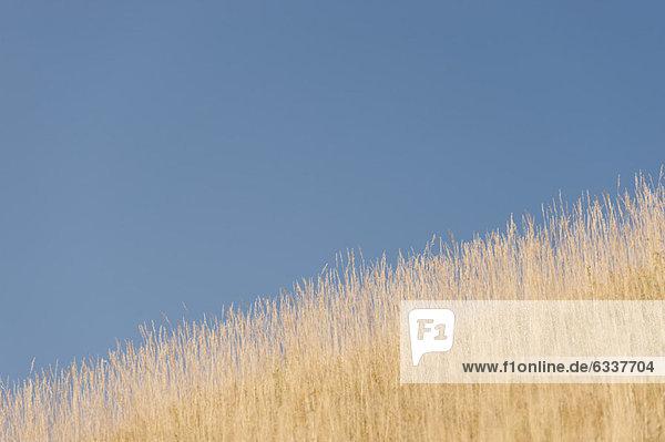 Weizenfeld kurz vor der Ernte