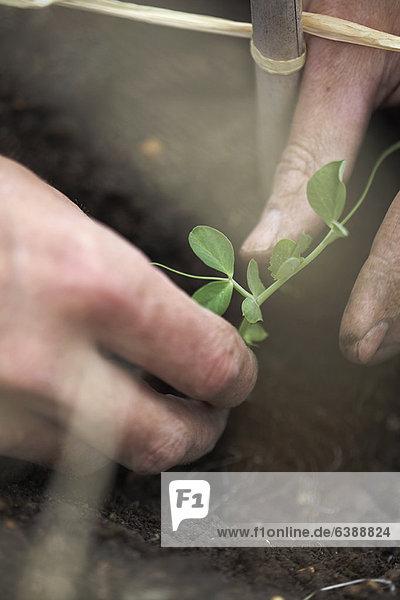 Mann pflanzt Erbsen bei der Zuteilung