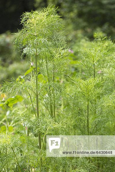 Dill oder Gurkenkraut (Anethum graveolens)