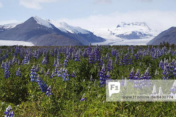 Lupins growing in front of the Vatnajoekull or Vatna Gladier  Hoefn  eastern Iceland  Iceland  Europe