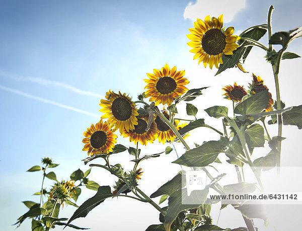Sonnenblumen (Helianthus annuus) im Gegenlicht  Stuttgart  Baden-Württemberg  Deutschland  Europa