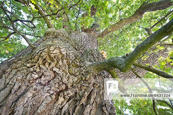 Europa Baum Eiche 1 Baden-Württemberg Deutschland