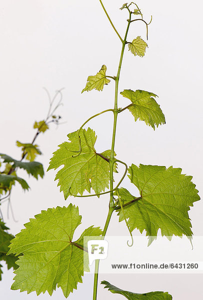 Europa Pflanzenblatt Pflanzenblätter Blatt Klatsch Reben Deutschland Baden-Württemberg