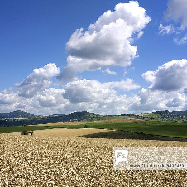 Weizenfeld (Triticum spp.)  Limagne  Auvergne  Frankreich  Europa